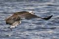 Картинка природа, рыба, osprey