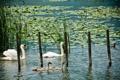 Картинка пруд, лилии, утки, белые, лебеди