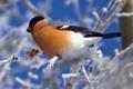Картинка птица, ветка, снегирь