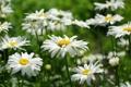 Картинка поле, ромашки, лепестки, размытость, белые