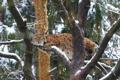 Картинка снег, отдых, ветви, хищник, рысь