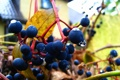 Картинка осень, капли, дикий виноград