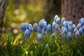 Картинка цветы, голубые, гиацинты