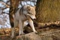 Картинка лес, Волк, солнечный свет