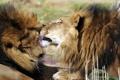 Картинка морда, кошки, поцелуй, лев, грива, профиль, львы