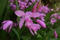 Картинка цветы, фото, Bletilla, блетилла, striata Hamadera