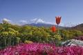 Картинка Япония, цветы, тюльпаны, небо, Фудзияма