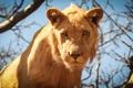 Картинка взгляд, хищник, молодой лев