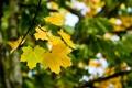 Картинка макро, лист, Клён