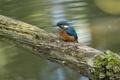 Картинка вода, птица, цвет, ветка, зимородок