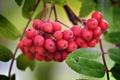 Картинка листья, рябина, осень, природа, ягоды