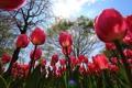 Картинка небо, деревья, цветы, тюльпаны