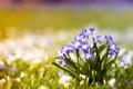Картинка цветы, лепестки, подснежники