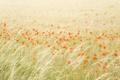 Картинка поле, лето, природа, маки
