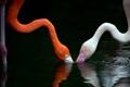 Картинка фламинго, вода, птицы