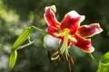 Картинка цветение, лилии, цветы, природа, лето