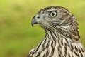 Картинка птица, хищник, профиль, тетеревятник