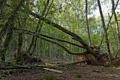 Картинка стволы, лес, зелень, корни, деревья