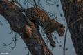 Картинка хищник, лапы, пятна, леопард, дикая кошка, молодой