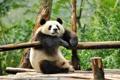 Картинка природа, фон, панда