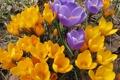 Картинка фото, Цветы, Много, Крокусы