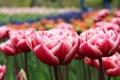 Картинка бутоны, розовые, весна, лепестки, поляна, тюльпаны, красные