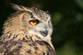 Картинка птица, оперение, сова