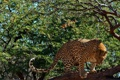 Картинка леопард, хищник, листва, взгляд, дерево