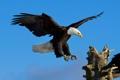 Картинка небо, полет, орел, крылья, орлан