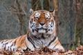 Картинка осень, морда, листья, тигр, отдых, хищник, лежит
