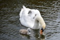 Картинка природа, озеро, лебедь, nature, lake, Swan, маленькие лебеди