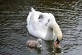 Картинка nature, little swans, маленькие лебеди, лебедь, озеро, Swan, lake