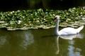 Картинка белый, вода, лебедь, шипун