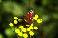 Картинка цветок, макро, желтый, природа, бабочка, растение