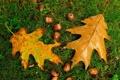 Картинка осень, трава, листья, дуб, жёлудь
