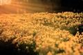 Картинка лето, цветы, природа, Нарциссы