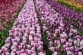 Картинка цветы, тюльпаны, разноцветные, много