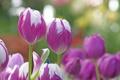 Картинка природа, лепестки, сад, стебель, тюльпаны