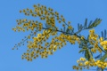 Картинка весна, небо, мимоза, веточка, макро