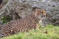 Картинка дикая кошка, гепард, хищник