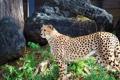 Картинка гепард, хищная кошка, chetah