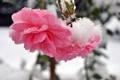 Картинка холод, зима, снег, цветы, розы, лепестки, стебель