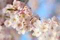 Картинка весна, сакура, вишня, природа, лепестки, ветка, цветы