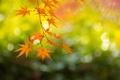 Картинка осень, ветка, Япония, клён, Киото, By ジェイリー