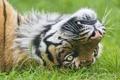 Картинка трава, взгляд, морда, тигр, ©Tambako The Jaguar, суматранский