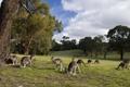 Картинка природа, парк, кенгуру