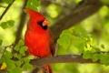 Картинка ветка, птичка, красная