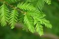 Картинка листья, зеленые, Ветка