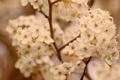 Картинка макро, ветки, фото, растения, ветка, абрикос, цветки