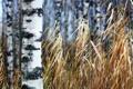 Картинка осень, трава, берёза